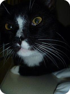 Domestic Shorthair Cat for adoption in Hamburg, New York - Clyde