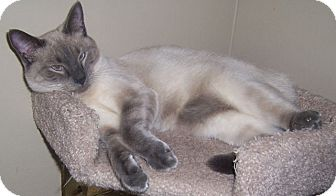 Siamese Cat for adoption in Gray, Tennessee - Marius