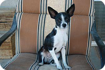 Chihuahua Dog for adoption in California City, California - Nellie