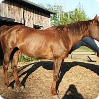 Quarterhorse Mix for adoption in Quilcene, Washington - Diva