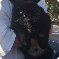 Adopt A Pet :: Puppy Girl - Temecula, CA