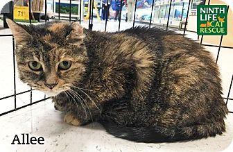Domestic Shorthair Cat for adoption in Oakville, Ontario - Allee Cat