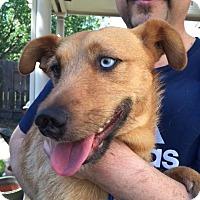 Adopt A Pet :: Indigo/Indie - Grass Valley, CA