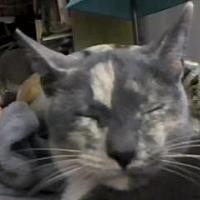Domestic Shorthair Cat for adoption in Asheville, North Carolina - Shasta