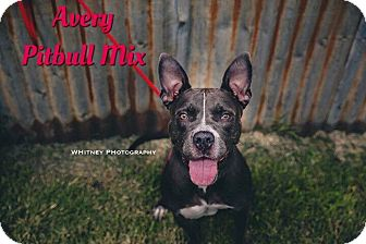Pit Bull Terrier Mix Dog for adoption in Cheney, Kansas - Avery
