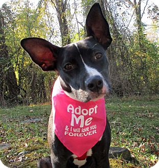Border Collie/Boston Terrier Mix Puppy for adoption in Baltimore, Maryland - Isra