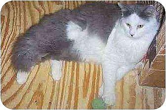 Domestic Shorthair Cat for adoption in Chapman Mills, Ottawa, Ontario - NUK-NUK