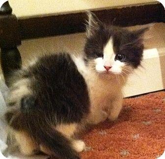 Domestic Mediumhair Kitten for adoption in Harriman, New York - Louie