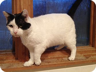 Domestic Shorthair Cat for adoption in Byron Center, Michigan - Salvador