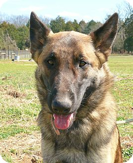 German Shepherd Dog Dog for adoption in Nashville, Tennessee - Ringo