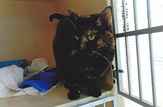 Domestic Shorthair Cat for adoption in Colorado Springs, Colorado - Allie