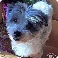 Adopt A Pet :: Mr. Boots - Essex Junction, VT