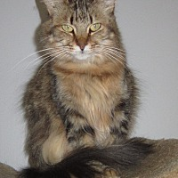Domestic Longhair Cat for adoption in Toledo, Ohio - Little Fuzzy