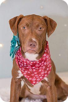 Labrador Retriever/Hound (Unknown Type) Mix Dog for adoption in Flint, Michigan - Kamara