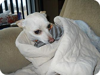 Chihuahua Dog for adoption in Toronto, Ontario - Bailey 3407