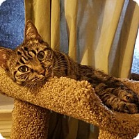 Domestic Shorthair Cat for adoption in Apopka, Florida - Little Bit
