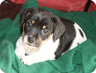 Rat Terrier Mix Puppy for adoption in Hastings, New York - Zebra