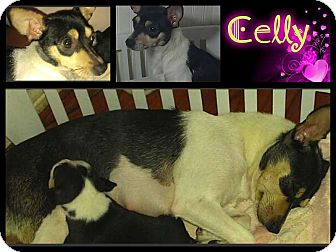 Rat Terrier/Fox Terrier (Smooth) Mix Dog for adoption in Alamosa, Colorado - Celly