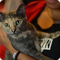 Adopt A Pet :: LoLi - Brooklyn, NY