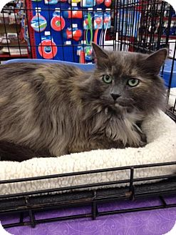 Domestic Longhair Cat for adoption in Sterling Heights, Michigan - Dixie