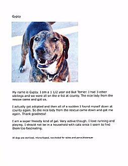 Bull Terrier Mix Dog for adoption in Phoenix, Arizona - Gypsy