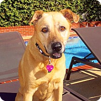 Adopt A Pet :: Ginger - Los Angeles, CA