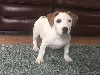 Boxer Mix Puppy for adoption in Westminster, Maryland - Dane