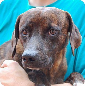 Beagle/Whippet Mix Dog for adoption in Las Vegas, Nevada - Fredrick