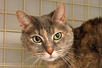 Domestic Shorthair Cat for adoption in Durham, North Carolina - Misty