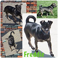 Chihuahua Mix Dog for adoption in Fort Wayne, Indiana - Freddie