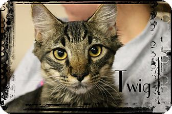 Maine Coon Kitten for adoption in Wichita Falls, Texas - Twig