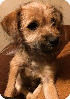 Terrier (Unknown Type, Small) Mix Puppy for adoption in Kittery, Maine - Tippy