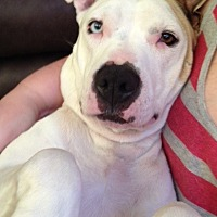 American Pit Bull Terrier Mix Dog for adoption in Houston, Texas - Misses