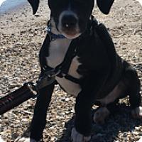 Adopt A Pet :: Puppy Brock - Austin, TX