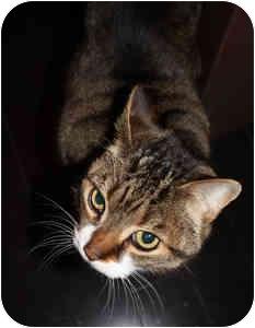 Domestic Shorthair Cat for adoption in Etobicoke, Ontario - Bizo