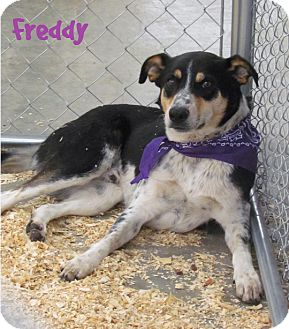 Blue Heeler Mix Dog for adoption in La Crosse, Wisconsin - Freddy