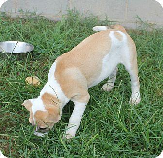 Pit Bull Terrier Mix Puppy for adoption in Marietta, Georgia - Gilligan