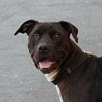 Pit Bull Terrier Mix Dog for adoption in Palmdale, California - Oreo