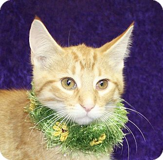 Domestic Shorthair Kitten for adoption in Jackson, Michigan - Louie