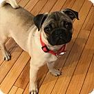 Adopt A Pet :: Gizmo-ADOPTION PENDING!!