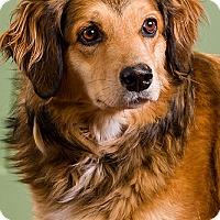 Adopt A Pet :: Cocoa - Owensboro, KY