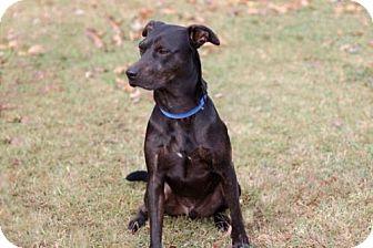 Labrador Retriever/Doberman Pinscher Mix Dog for adoption in Spring Valley, New York - ROMEO