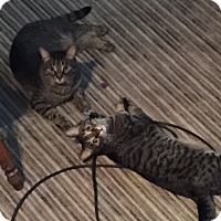 Domestic Shorthair Cat for adoption in Sterling Hgts, Michigan - Marcus & Julius ( high energy)