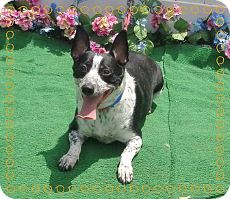 Welsh Corgi Mix Dog for adoption in Marietta, Georgia - ONYX
