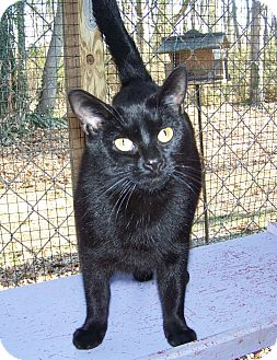 Domestic Shorthair Cat for adoption in Dover, Ohio - Knight
