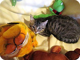 Domestic Mediumhair Kitten for adoption in Geneseo, Illinois - Wish