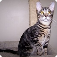 Adopt A Pet :: K-Hirsh6-Bartholo-mew - Colorado Springs, CO