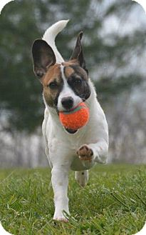 Jack Russell Terrier Mix Dog for adoption in Chesapeake, Virginia - Amelia