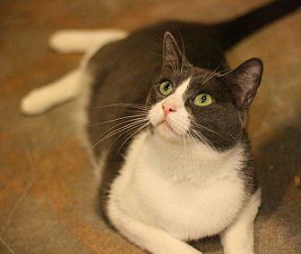 Domestic Shorthair Cat for adoption in Canoga Park, California - Charmaine