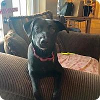 Adopt A Pet :: MAYA ANGELO - Boca Raton, FL
